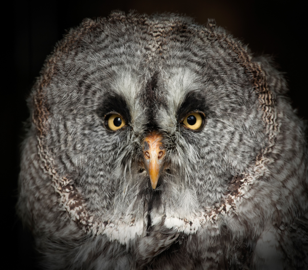great grey owl, lapland owl, phantom of the north