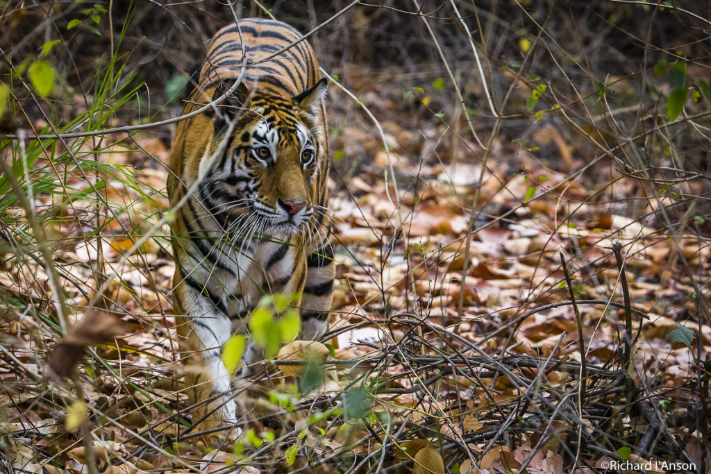 Tiger at Bandhavgarh National Park, India. 2015